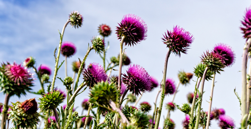 Musk Thistle Flowers